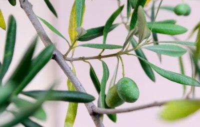 Olivenbaum | lacapocuoca.at