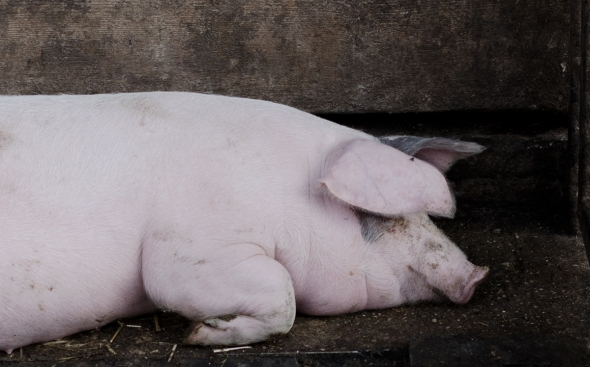 Schwein   lacapocuoca.at