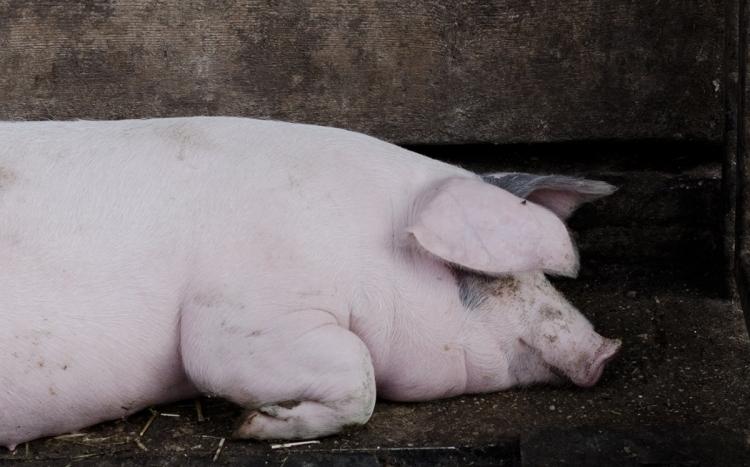 Schwein | lacapocuoca.at