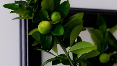 Zitronenbaum | lacapocuoca.at
