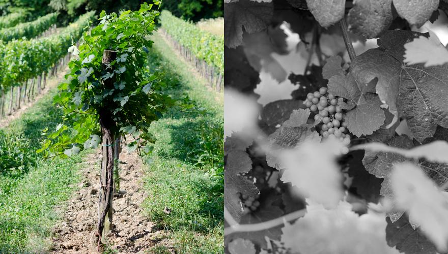 Weinlaub | lacapocuoca.at