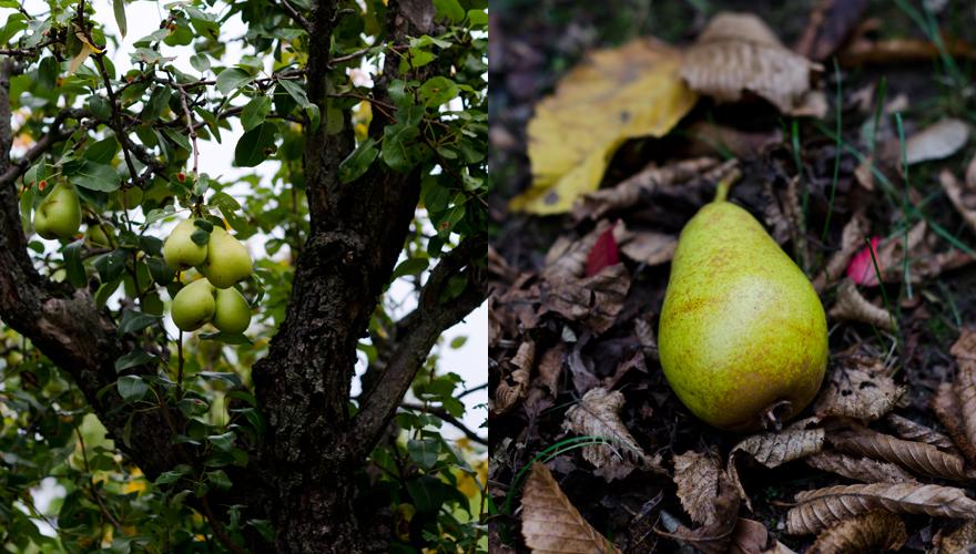 Birnenbaum | lacapocuoca.at