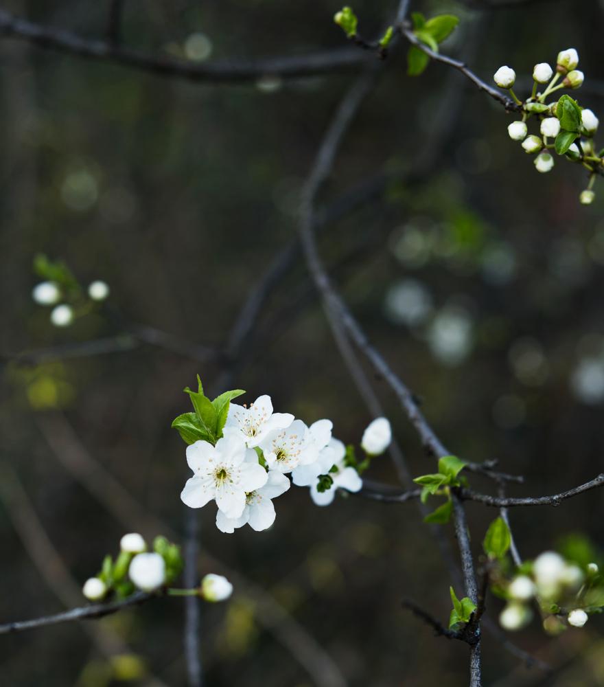 Blühender Baum | lacapocuoca.at