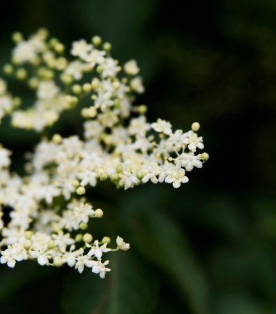 Holunderblüten | lacapocuoca.at