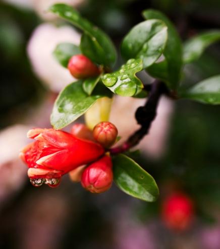 Granatapfelblüte | lacapocuoca.at