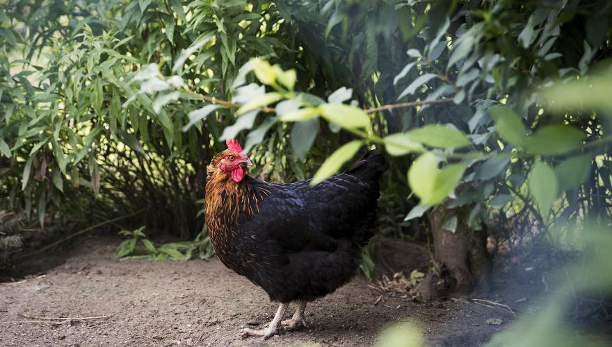 pollo-expo
