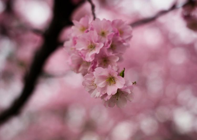 Kirschblüte | lacapoucuoca.at