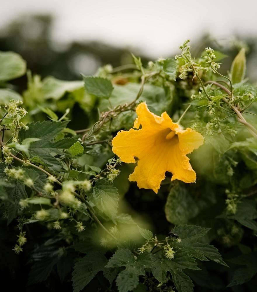 Kürbisblüte | lacapocuoca.at