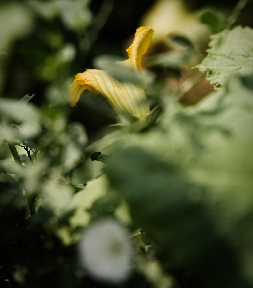 Kürbisblüten | lacapocuoca.at