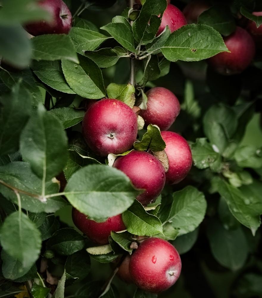 Apfelbaum   lacapocuoca.at
