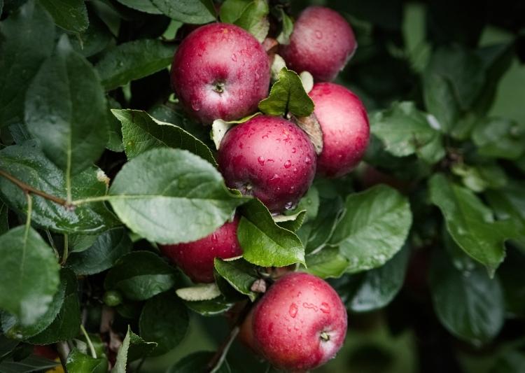 Apfelbaum | lacapocuoca.at