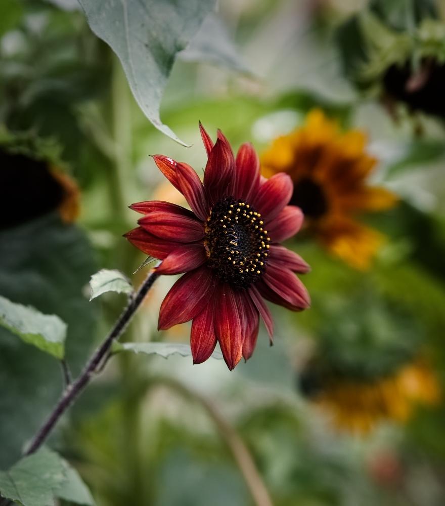 Sonnenblume Citygarden   lacapocuoca.at