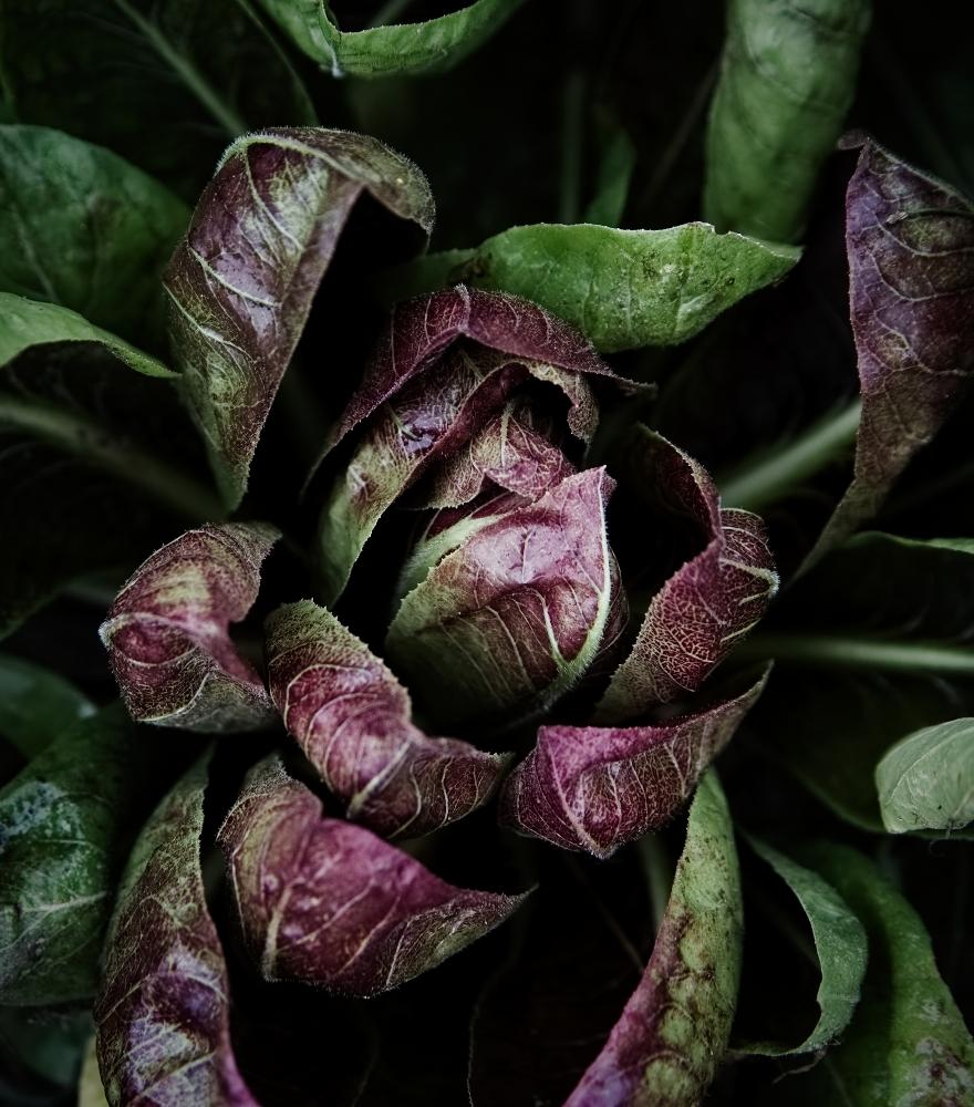 Salat Radicchio   lacapocuoca.at