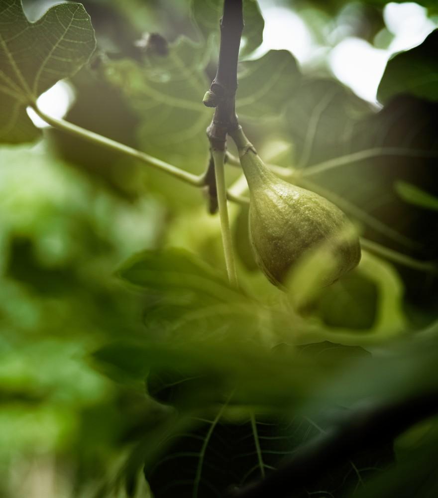 Feigenbaum | lacapocuoca.at