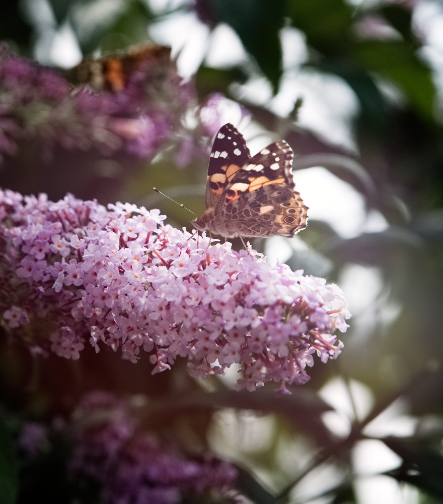 Schmetterling | lacapocuoca.at