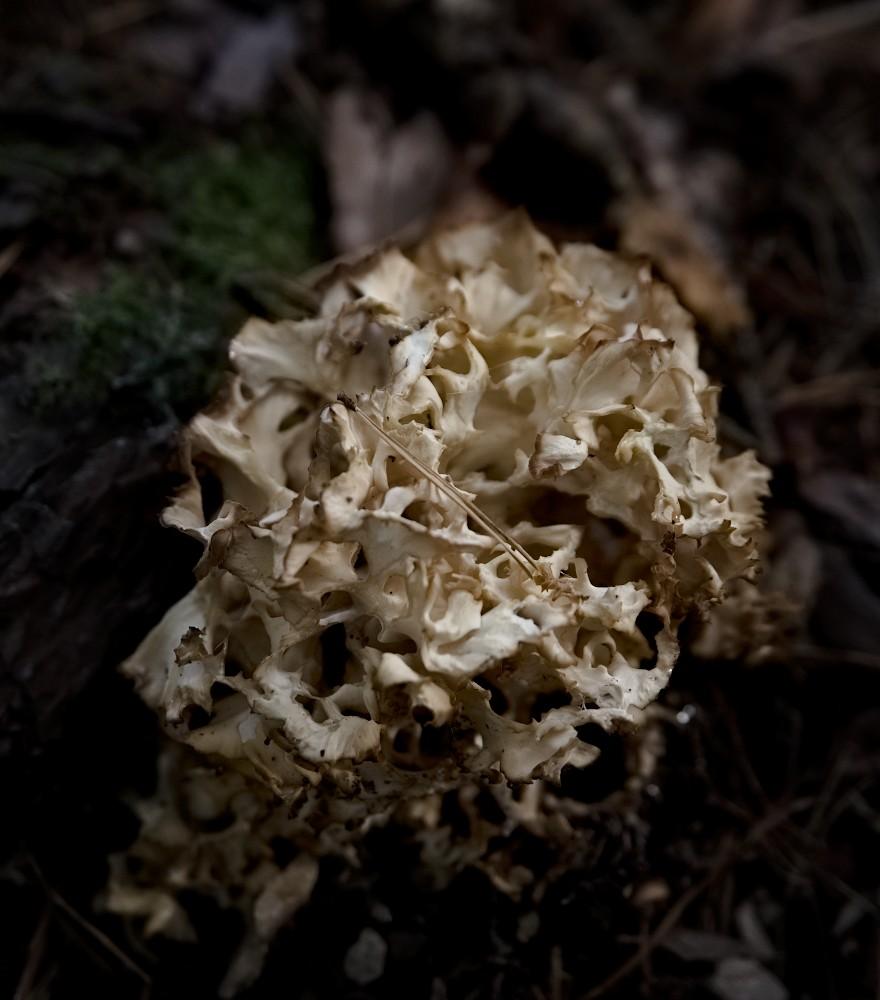 Pilze Wald Fette Henne Krause Glucke | lacapocuoca.at